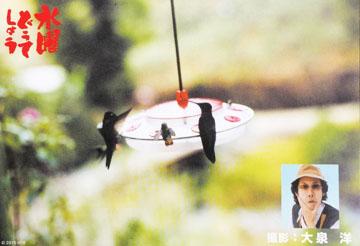 餌付けハチドリ